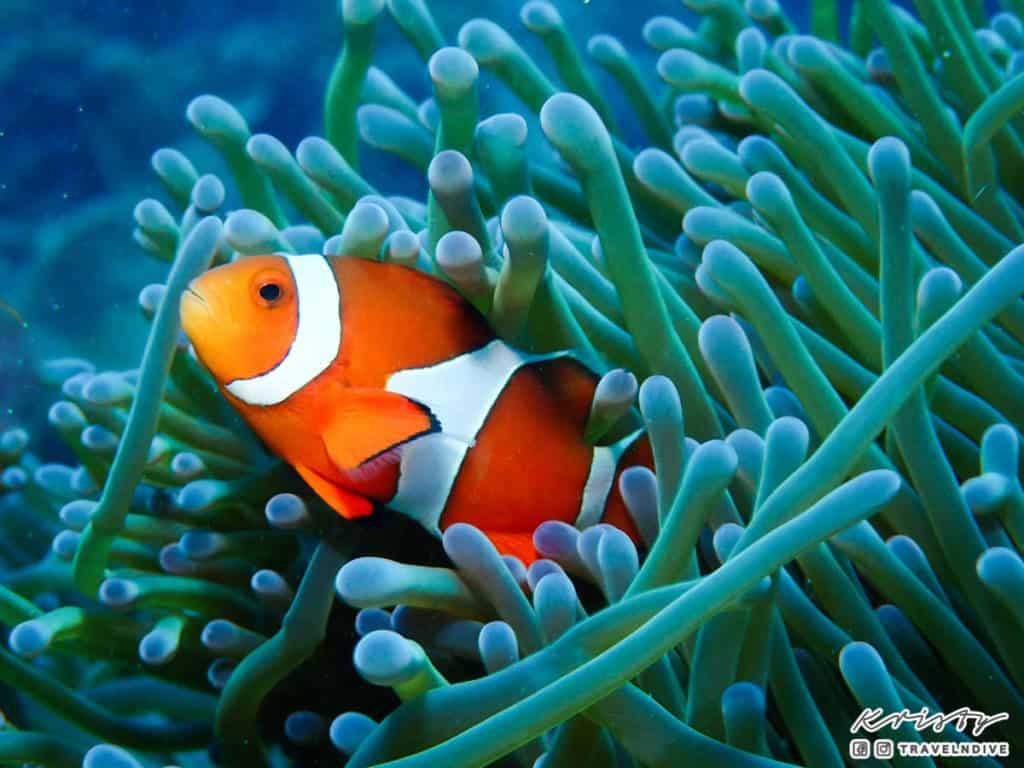 綠島潛水 小丑魚 nemo