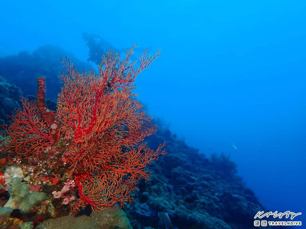 綠島潛水 海底 水下生態 珊瑚 海扇