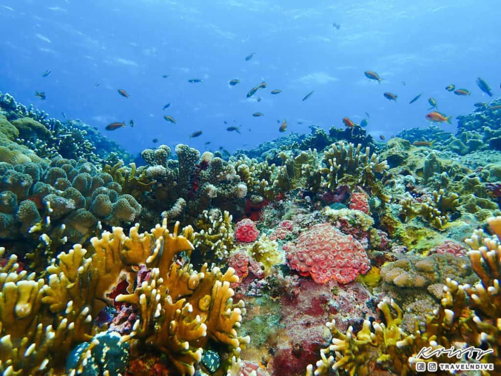 綠島潛水 海底生態 珊瑚